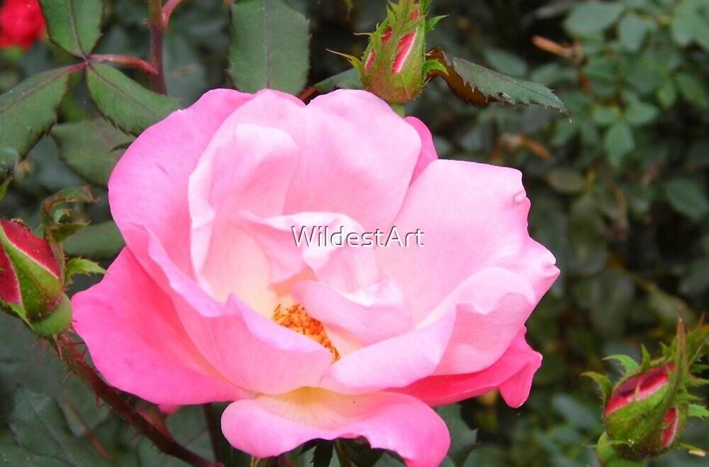 Rose Group by WildestArt
