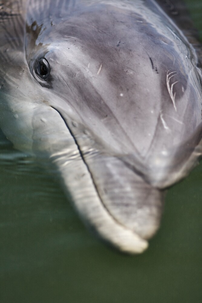 Dolphin Close-Up by jimcrotty