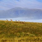 Pronghorn in Montana by amontanaview
