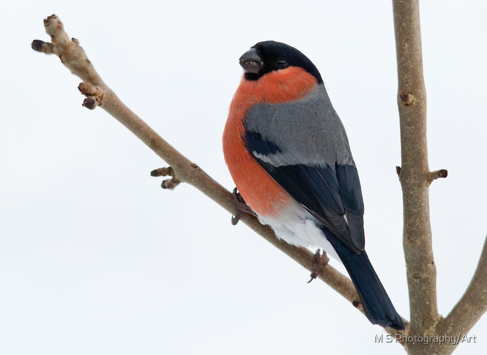 Bullfinch  by M S Photography/Art