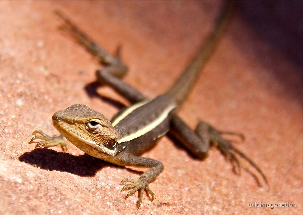 """Dragon"" Kalbarri National Park, Western Australia by wildimagenation"