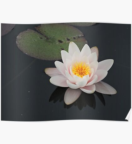 Peaceful Waterlily Poster