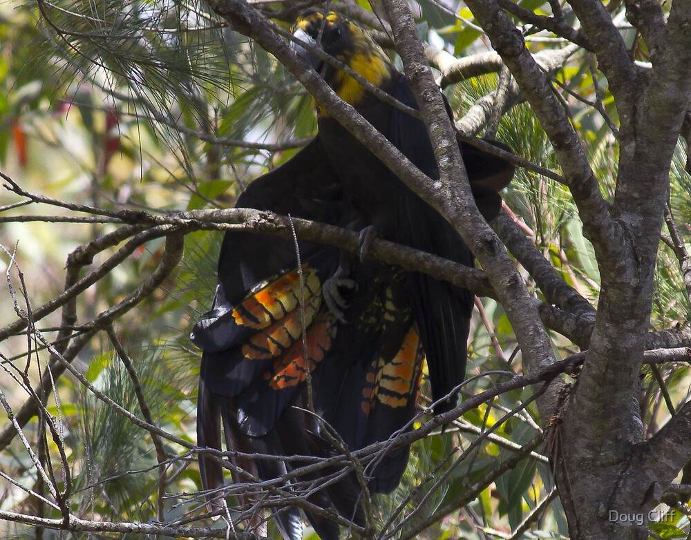 Glossy Black-Cockatoo or  Red-tailed Black-Cockatoo? by Doug Cliff