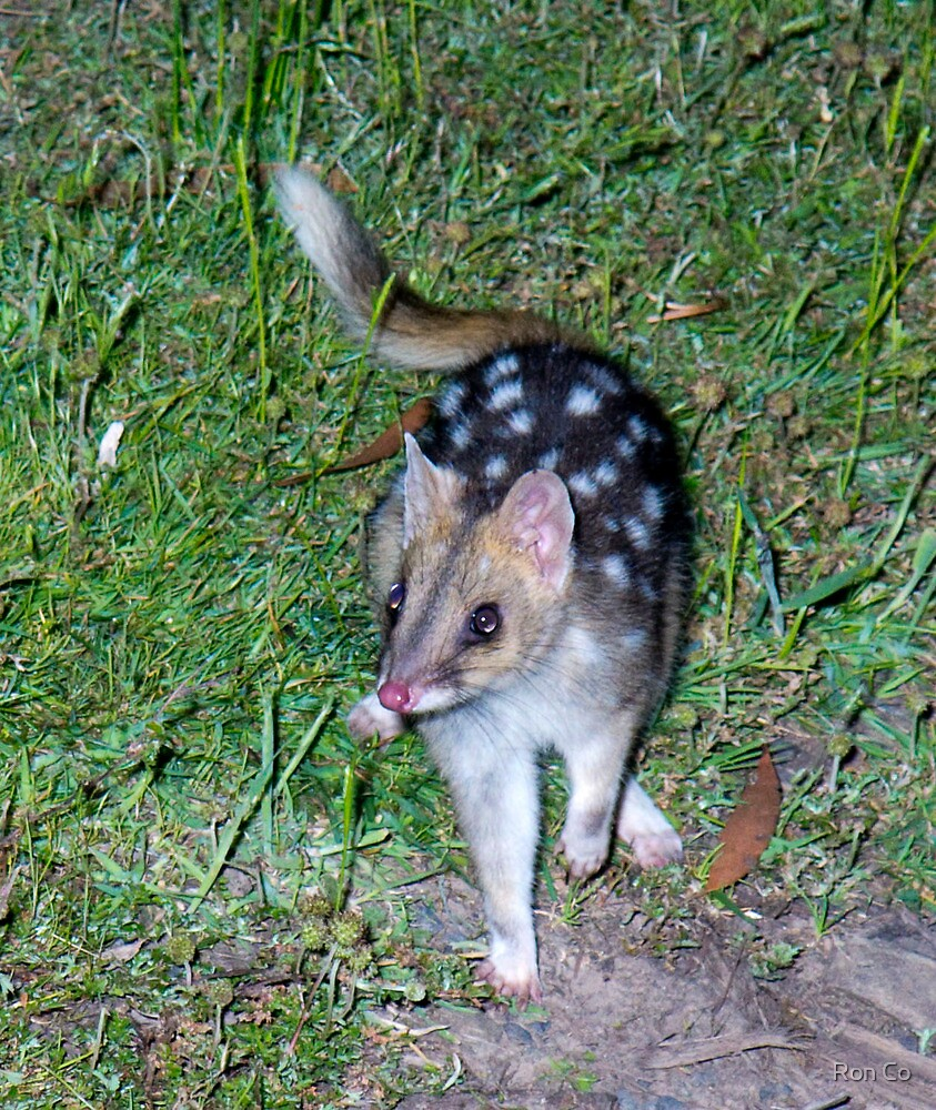 Eastern Quoll by flash - Got him at last by Ron Co