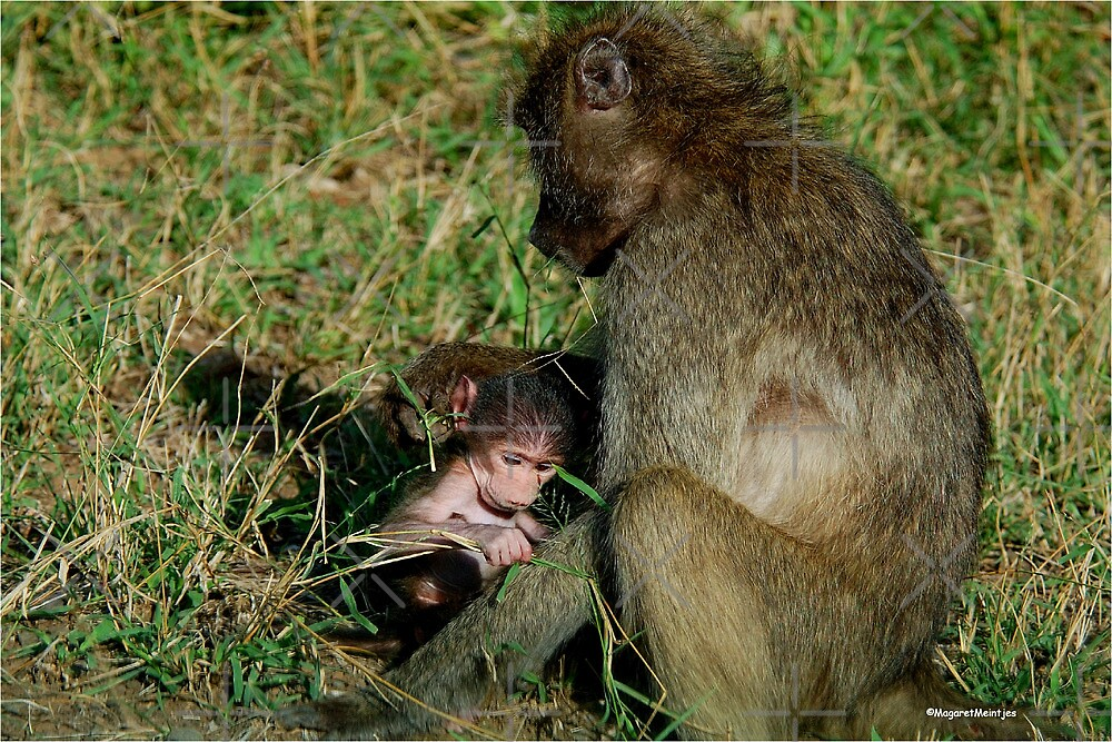 YOU TICKLE MY EAR, I TICKLE YOUR LEG! - THE CHACHMA BABOON - Papio ursinus by Magriet Meintjes