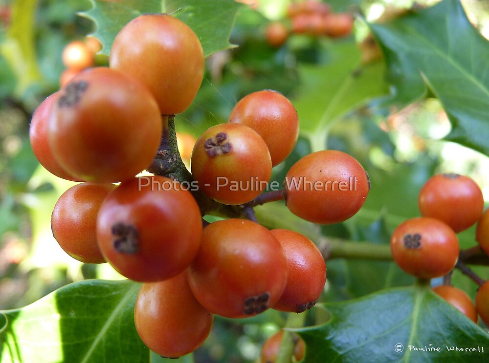 Holly berries by Photos - Pauline Wherrell