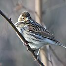 Reed Bunting by dilouise