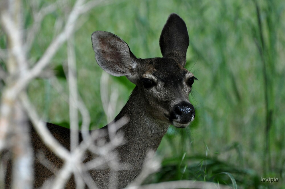 Monterey Deer by levipie