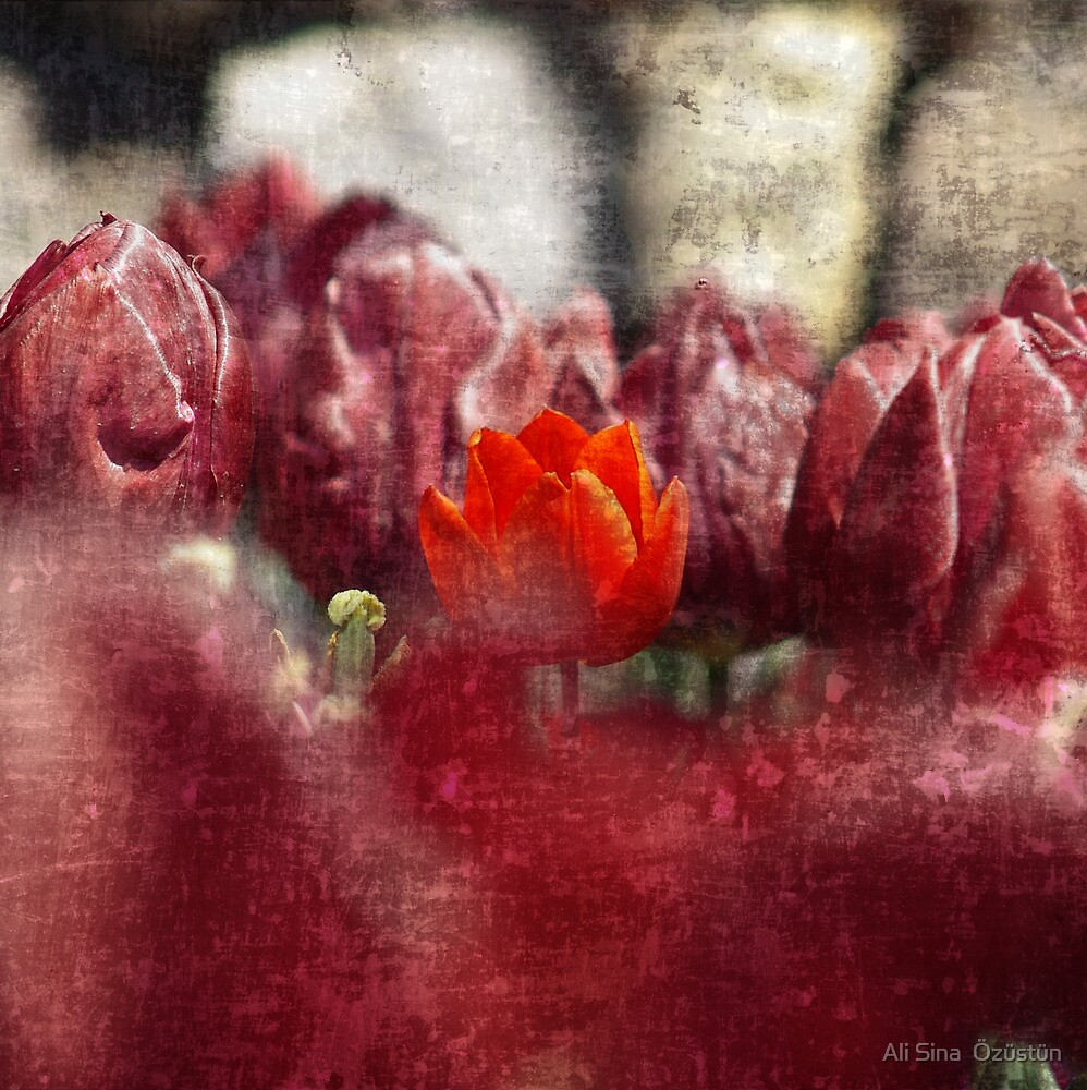 red tulip by Ali Sina  Özüstün
