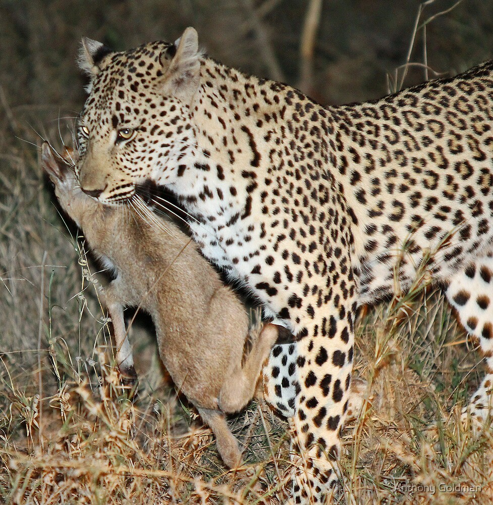 Leopard/duiker interaction 4 by Anthony Goldman
