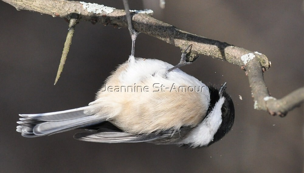 Upside down Black Capped Chickadee by Jeannine St-Amour