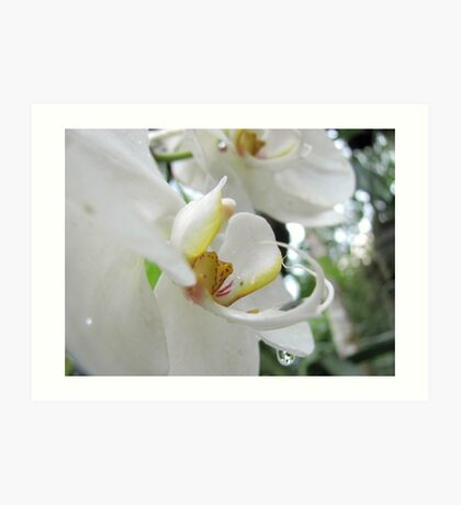 White Orchid Up Close Art Print