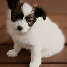 Pappilion Pup by JuliaKHarwood