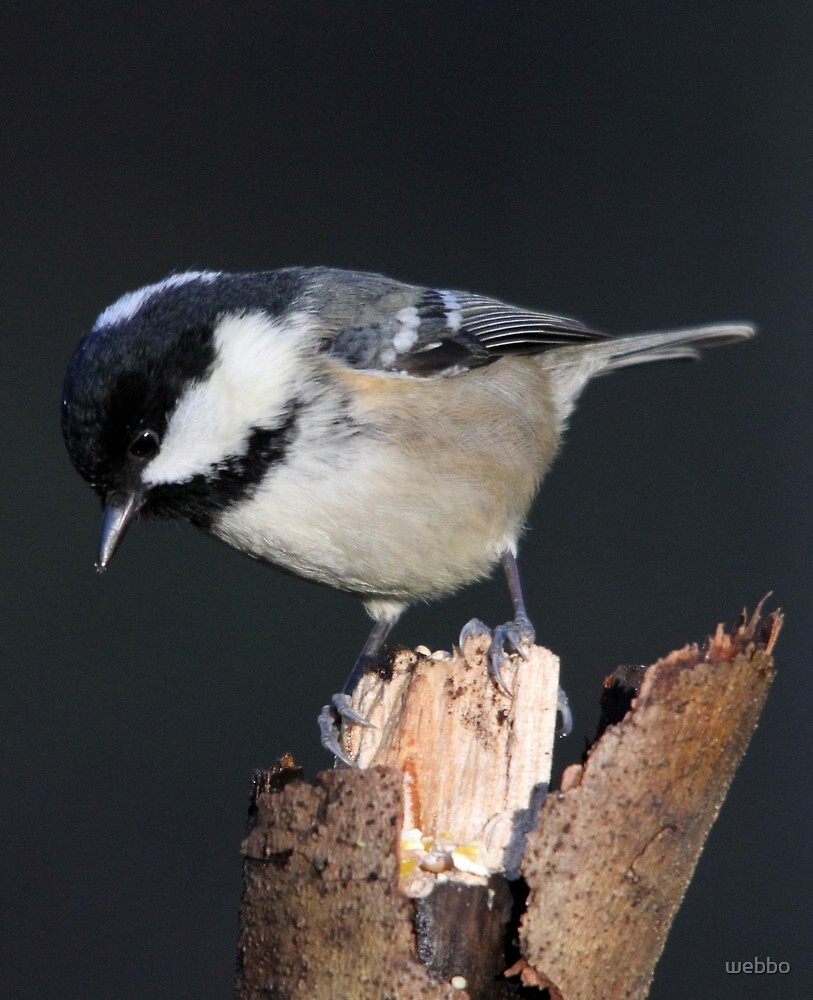 Coal Tit by webbo