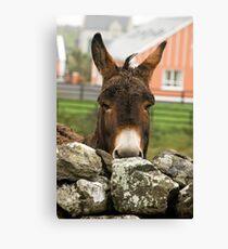 Donkey, Doolin, County Clare, Ireland, October 2011 Canvas Print