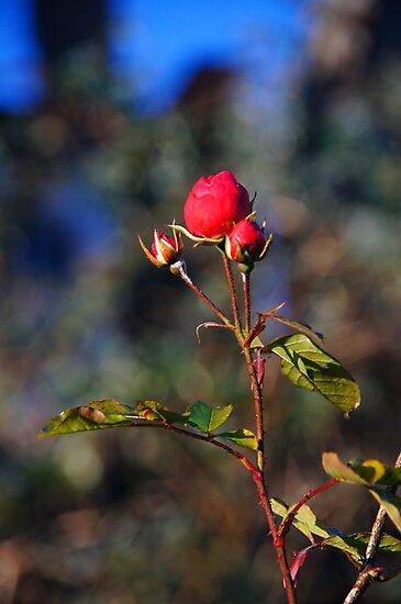 Winter Rose by Nik Watt