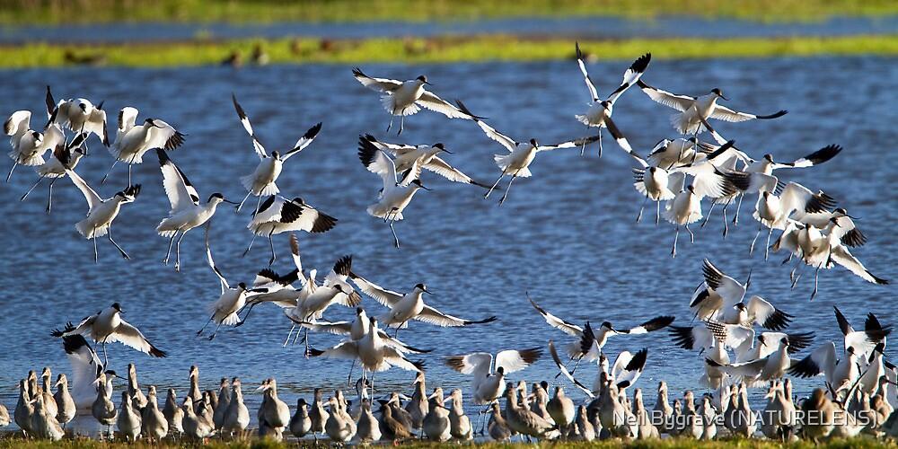 Avocet Flock by Neil Bygrave (NATURELENS)