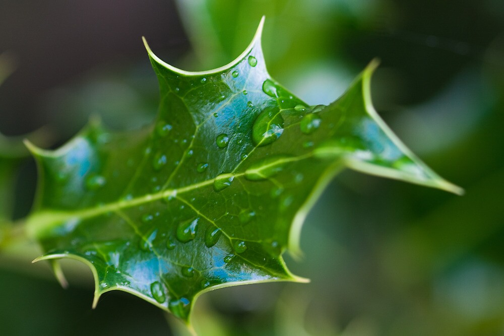 Mahonia Leaf with rain drops by Gert Lavsen
