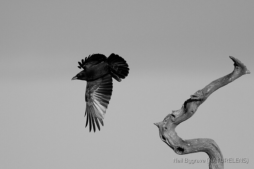 Carrion Crow by Neil Bygrave (NATURELENS)