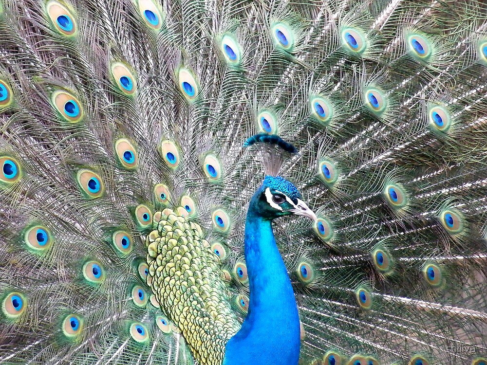 Peacock by shiiiva