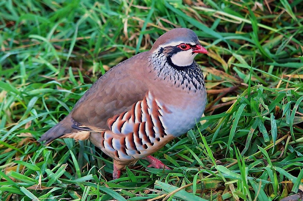 red legged partridge by georgeporteous