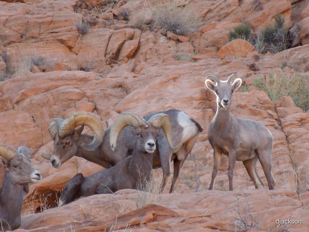 Big Horn Sheep Pose by djackson