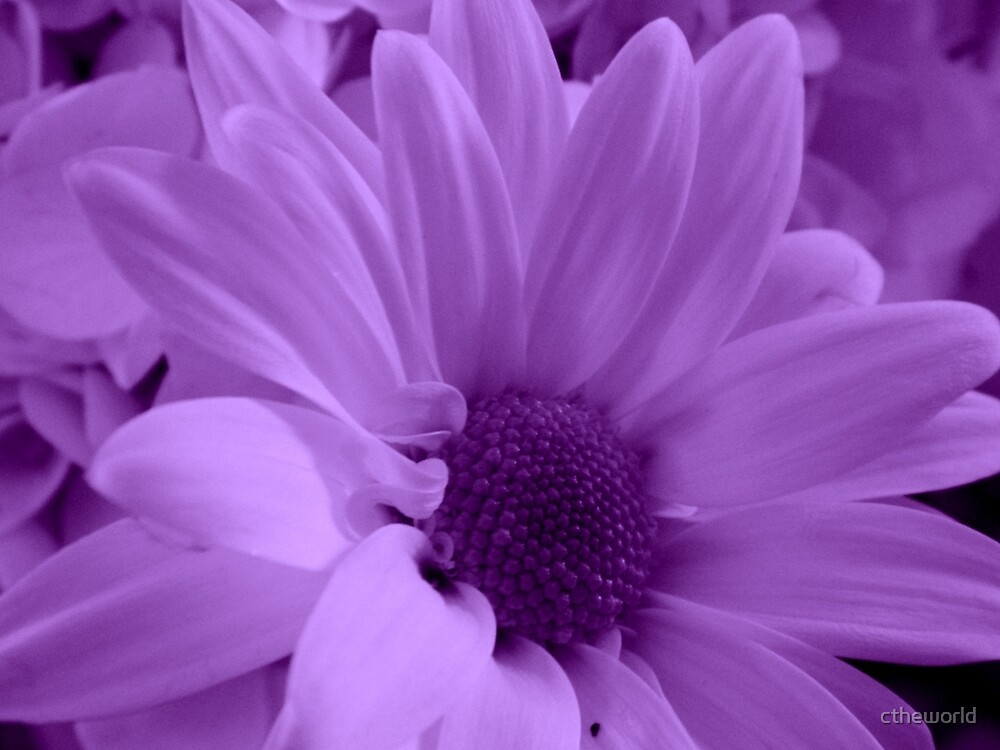 Purple Mist    ^ by ctheworld