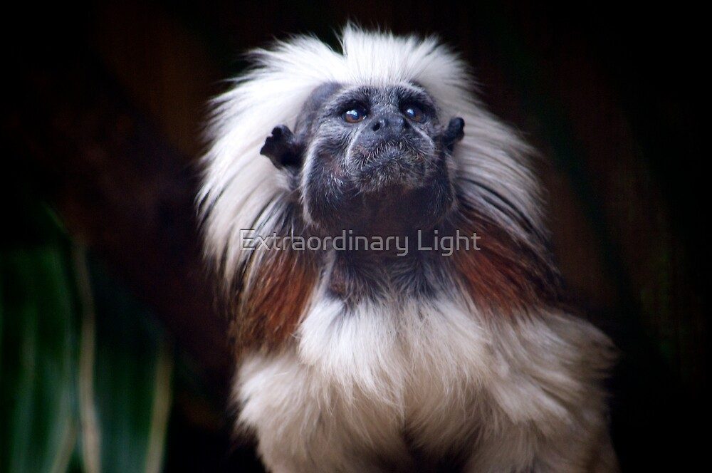 Cotton-top Tamarin by Extraordinary Light