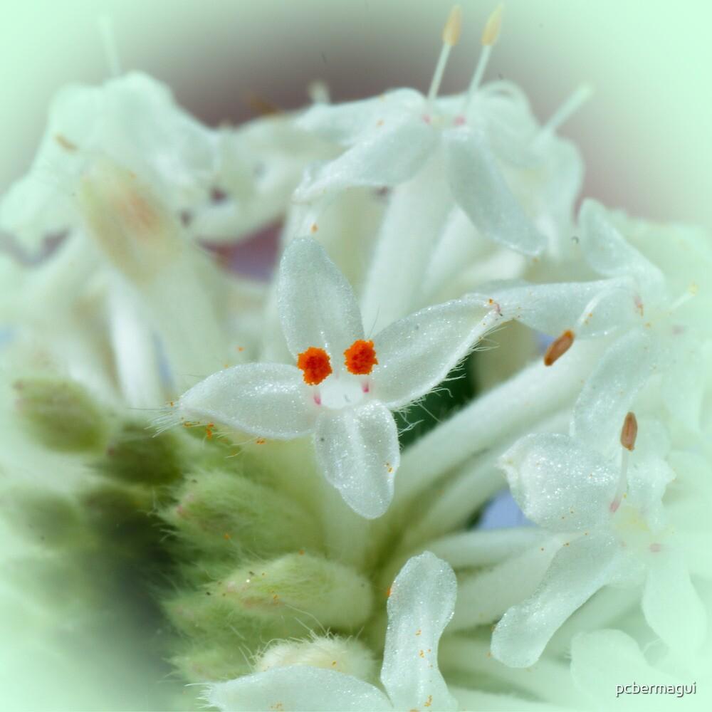 Slender Rice Flower by pcbermagui