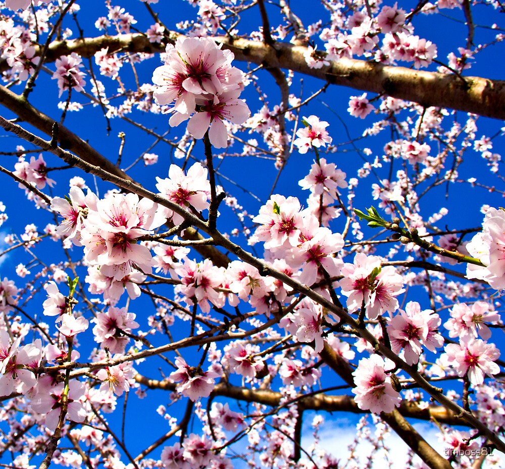 Cherry Blossoms by timboss81