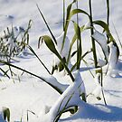shoots under the snow by catiapancani