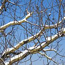 Snow-covered branches of poplar by catiapancani