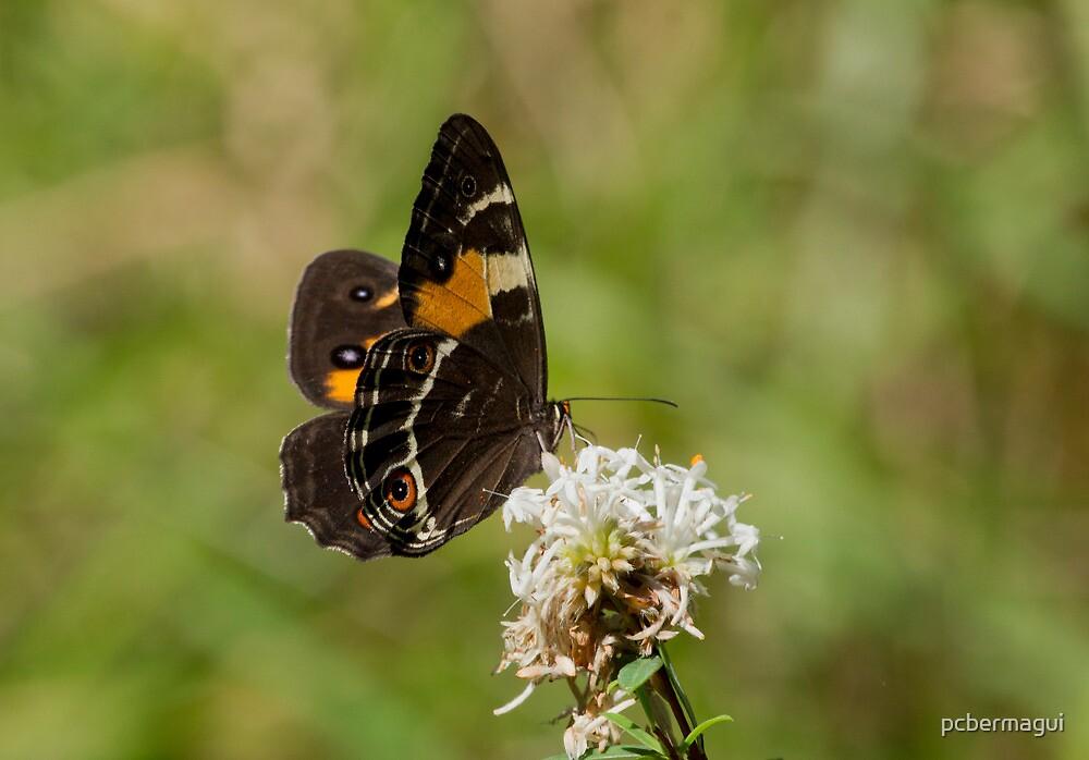 Swordgrass Brown Butterfly on Slender Rice Flower by pcbermagui