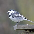 Pied Wagtail by dilouise