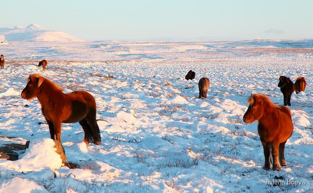 icelandic horses in winter by milena boeva