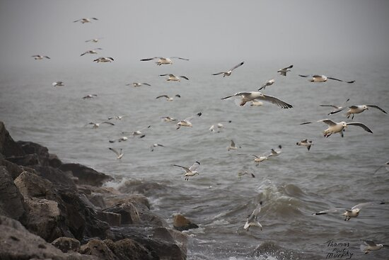A flock of Seagulls feeding by Thomas Murphy