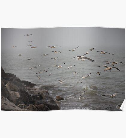A flock of Seagulls feeding Poster