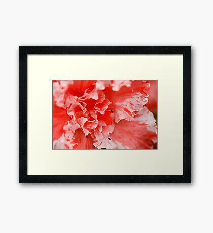 An Amazing Azalea Framed Print