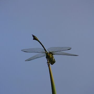 Solitary Dragonfly by ecoeye
