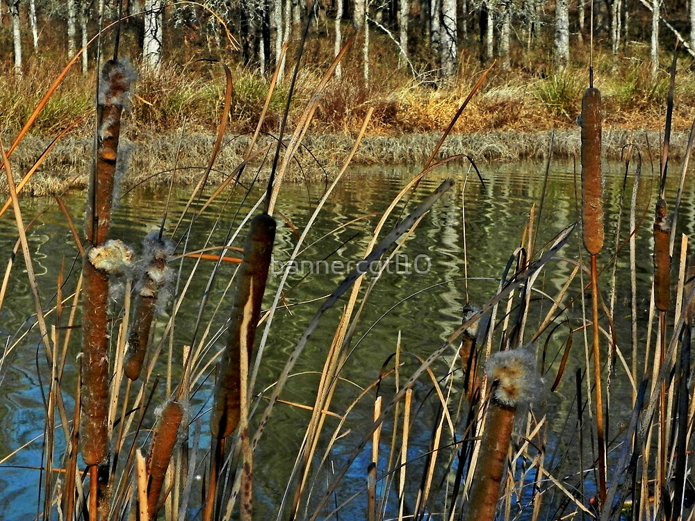 Cattail on the edge by bannercgtl10