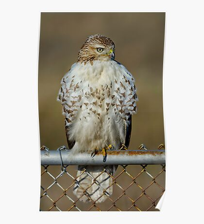Hawk on fence Poster
