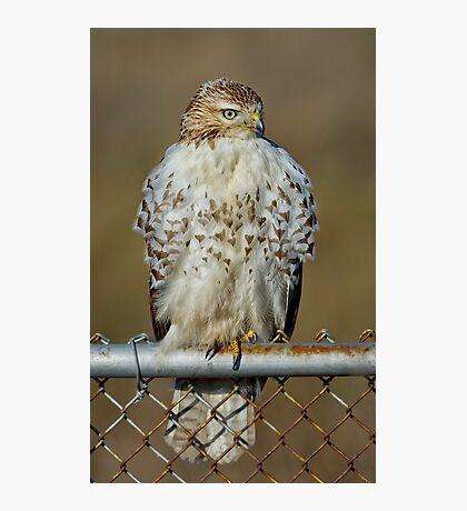 Hawk on fence Photographic Print