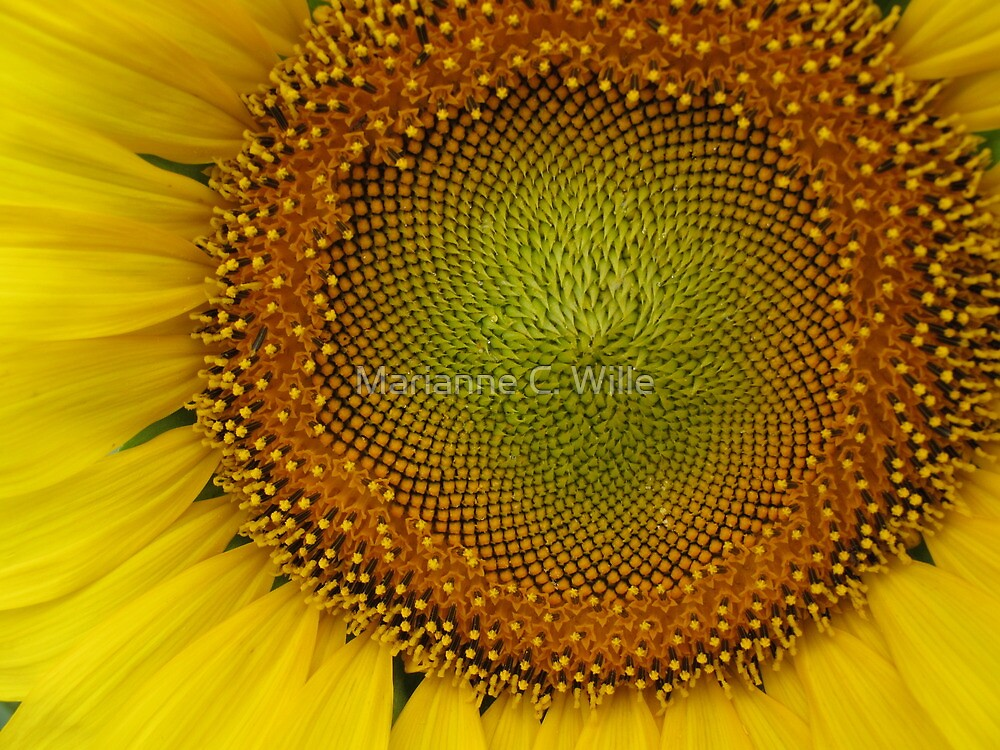 Western Kansas Sunflower by Marianne C. Wille