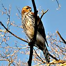 Red Shouldered Hawk by Gayle Dolinger
