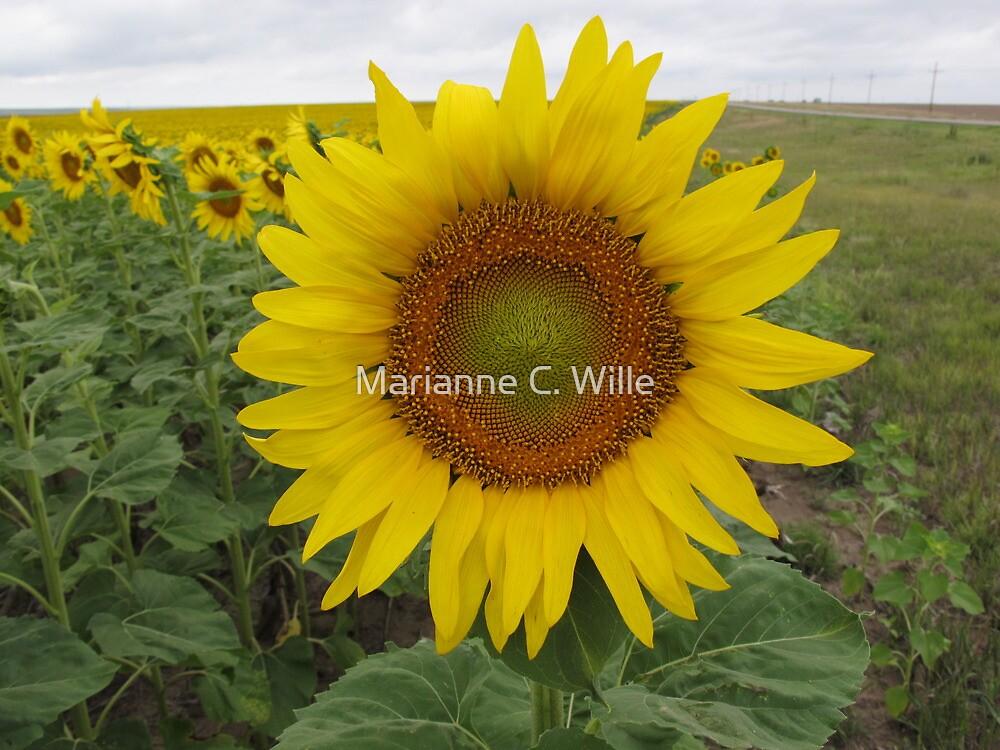 Western Kansas Sunflower by Marianne C. Wille