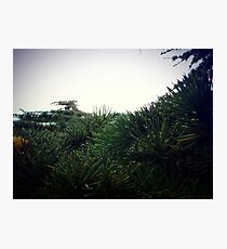 Pine needle Photographic Print