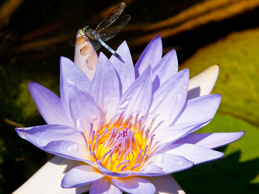 Lilypad and Dragonfly by cadman101