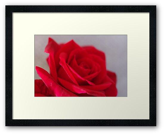 Rose Petal by Liz Worth