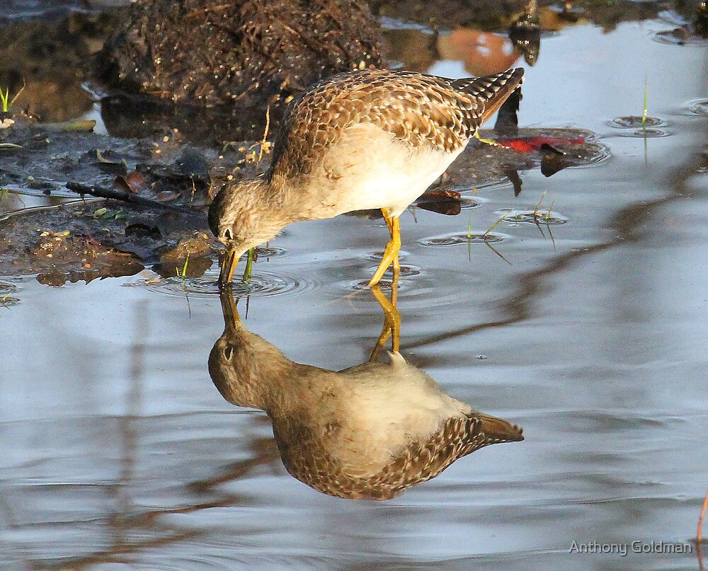 Common Sandpiper with reflection by Anthony Goldman