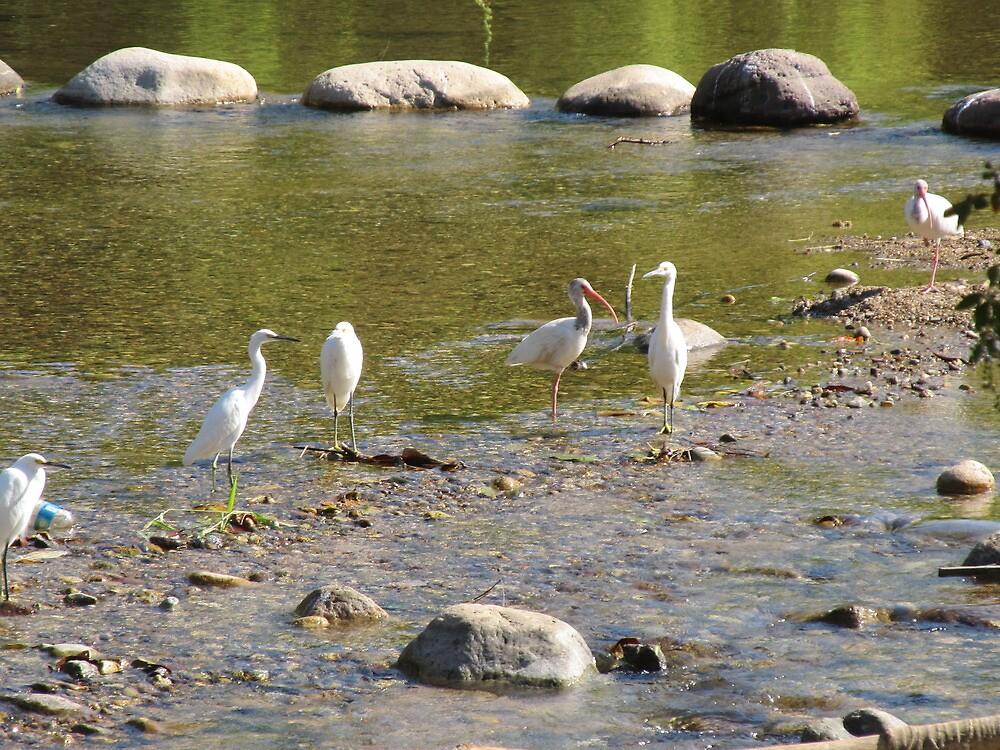 Ibis and Egrets and a ford - Ibis y garzas y un vado by PtoVallartaMex